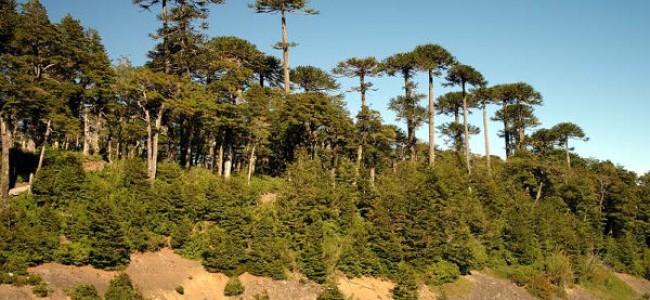 Pensando como araucarias: desarrollo y conservación en otras escalas de tiempo